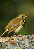 Hermit Thrush During Fall Migration