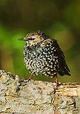 European Starling In Autumn