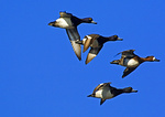 Greater Scaup In Flight-Three Males, One Female