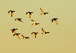 Small Flock Of Greater Scaup In Flight