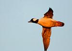 Bufflehead Drake Flight In Last Light
