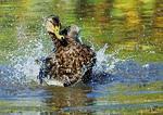 American Black Duck Bathing