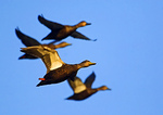 American Black Duck Flight Group