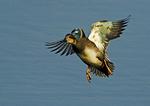 Gadwall Drake Landing
