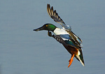 Northern Shoveler Drake About To Land On Pond