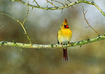 Northern Cardinal (Female) In Late Afternoon Light