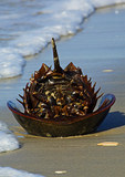 Horseshoe Crab On Beach with Surf
