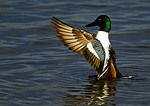 Northern Shoveler Drake Flapping Wings