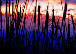 Cattails in Silhouette At Sunset