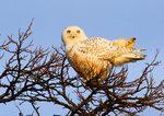 Snowy Owl Portrait In Last Light At Hudson River