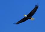 Adult Bald Eagle Above the Hudson River