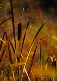 Cattails In Early Light