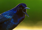 Boat Tailed Grackle Vocalizing