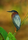 Green Heron Perched On Fire Weed In Early Light
