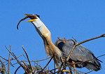 Great Blue Heron at Nest With Snake