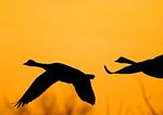 Canada Geese Flight Silhouette With Orange Sky