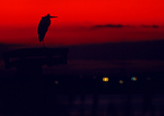 Great Blue Heron Silhouette In Red Afterglow