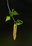 Gray Birch Male Catkins, Female Flowers And New Leaves In April