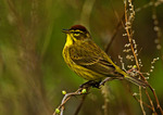 Singing Palm Warbler In Spring Migration