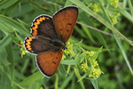 Bronze copper butterfly nectaring on goldenrod