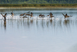 Canada geese take-off from freshwater marsh