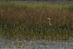 Great-blue heron in wetland habitat