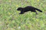 American mink in freshwater marsh wetland habitat