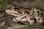 Pickerel frog in late summer