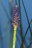 Pickerel weed in wetland habitat
