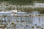 Trumpeter swan pair in freshwater marsh