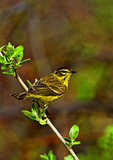 Palm Warbler In Prime Spring Plumage