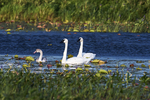 Trumpeter swan family in freshwater marsh