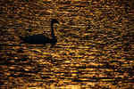 Trumpeter swan at sunset, birds, swans, environmental issues, waterfowl, wetlands,