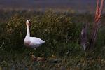 Trumpeter swan in last light