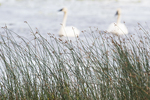Trumpeter swan pair in freshwater marsh