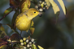 Yellow warbler in late August