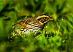 Savannah Sparrow Eating Grass Seeds In Spring