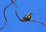 Yellow Throated Warbler In Early May