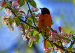 Baltimore Oriole Male On Crab Apple Blossoms