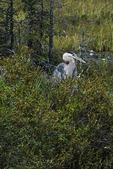 Great blue heron in Algonquin landscape