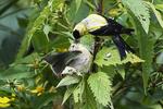 American goldfinch feeding fledgling in early September