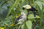 American goldfinch feeding fledgling in early September