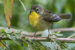 Female common yellowthroat in early September