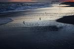 Sanderling shorebirds at sunset Atlantic beach