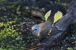 Female redstart in early September fall migration