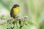 Female common yellowthroat in early September fall migration