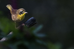 Common yellowthroat in early September fall migration, birds, fall warblers, songbirds,
