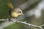 Female common yellowthroat warbler in early September fall migration