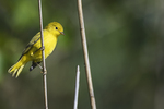 Yellow warbler in early September fall migration
