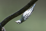 Black and white warbler in early September fall migration